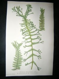 Moore Nature Printed Ferns 1860  Botanical Print. Athyrium Filix-Foemina 64
